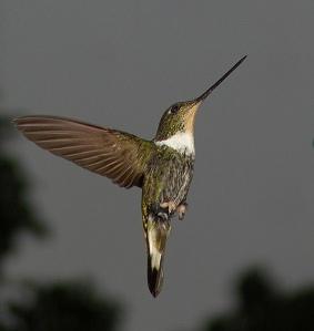 Leyenda del colibrí dorado