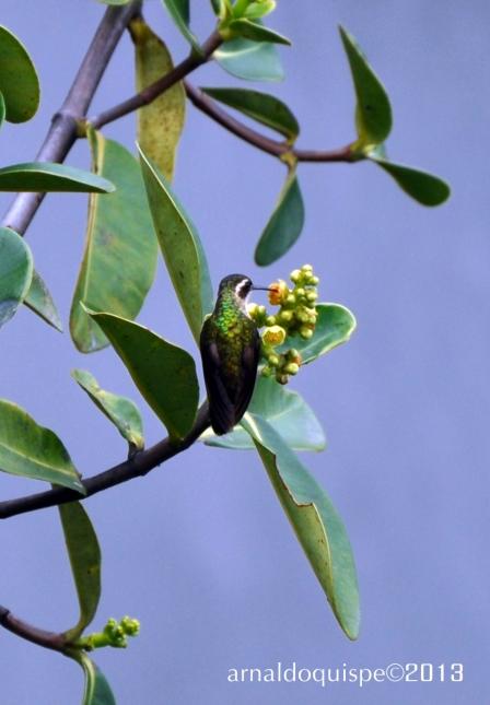 colibri de oro 1