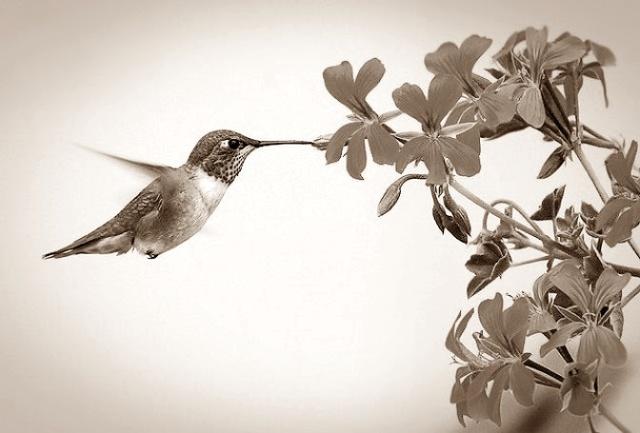 pico de colibri
