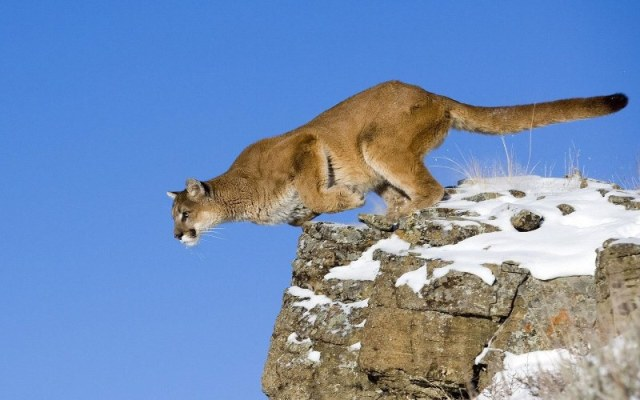 animali-salto-puma-felino-puma