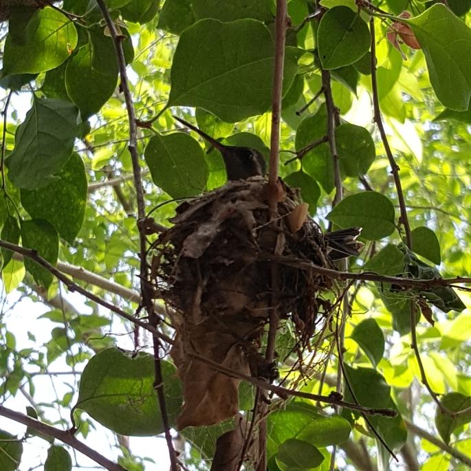 nuestro colibri