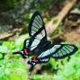 mariposa de mandor
